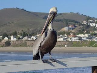California Gray Pelican on the pier at Pismo Beach, California.