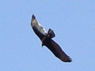 California Condor in flight over Canyonlands National Park, Moab, Utah.
