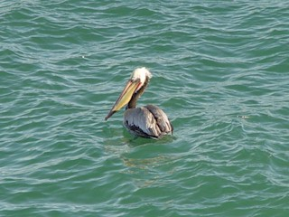 California Gray Pelican in the ocean at Pismo Beach, California.