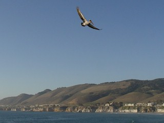 California Gray Pelican flying over the Central Coast of California.