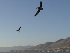 California Gray Pelicans